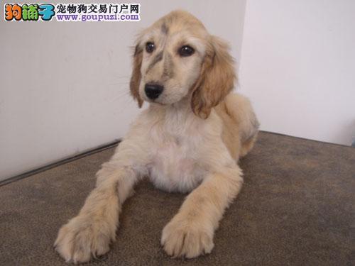 顶级优秀的纯种阿富汗猎犬热销中假一赔万签活体协议