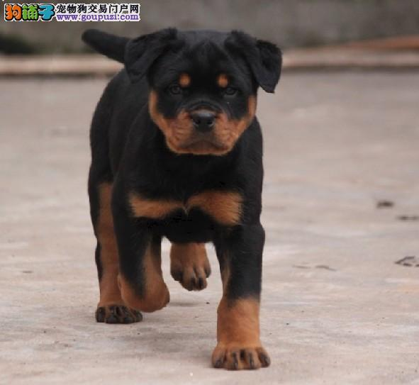 纯种高品质罗威那幼犬,健康保证,0011