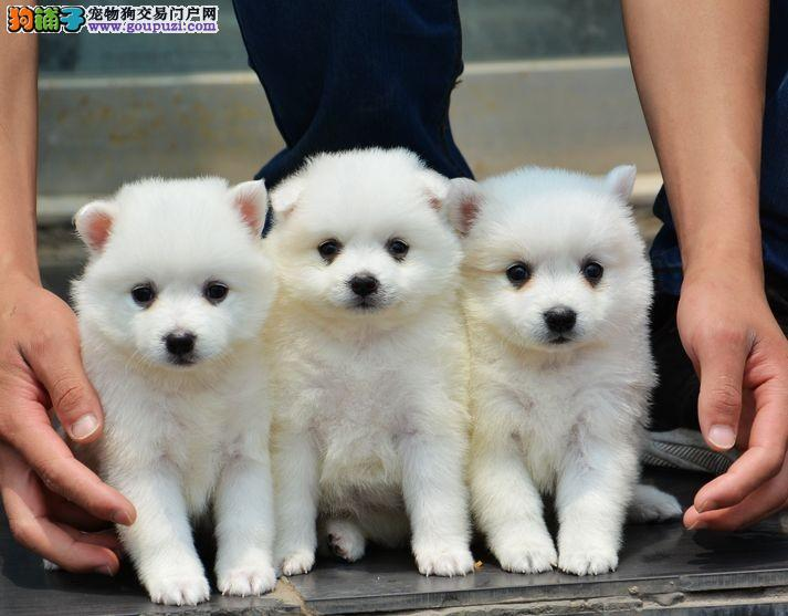 渝北区哪里有卖日本尖嘴 重庆尖嘴犬出售 包健康