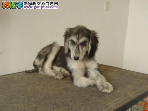 哈尔滨本地出售高品质阿富汗猎犬宝宝当日付款包邮
