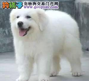 特价出售 优质品种的大白熊宝宝,品质保证