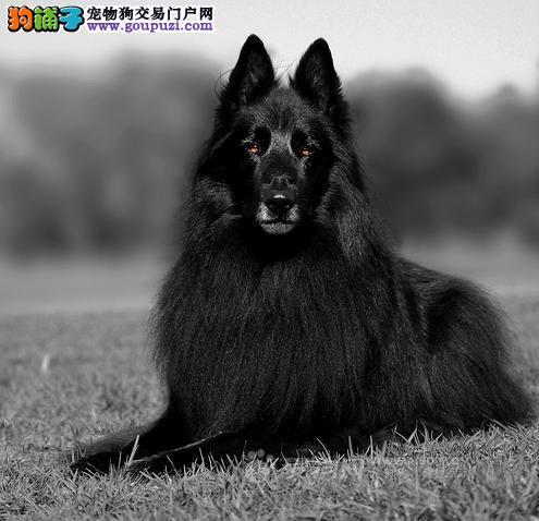 直销比利时牧羊犬幼犬、假一赔十质量保障、三包终生协议