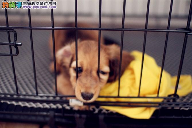腊肠犬出售 腊肠犬买卖 哪里出售腊肠犬