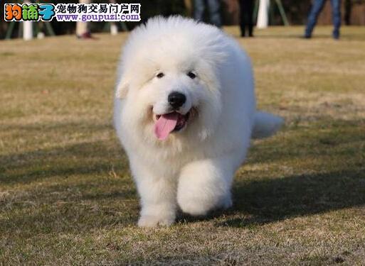 CKU注册犬业专业基地繁殖狗场超可爱保健康大白熊