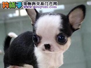 专业繁殖的南京吉娃娃幼犬 喜欢的朋友速来狗场选购