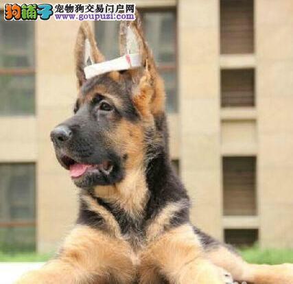 宠物级/赛级专业犬舍出售精品纯种德牧幼犬