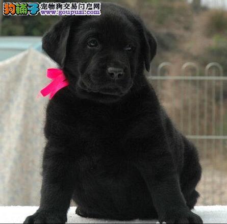 大头宽嘴的杭州拉布拉多犬低价出售 品相好包健康
