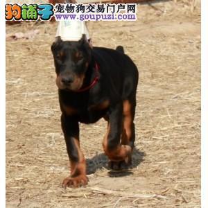 杜宾犬深圳哪里有狗场卖杜宾犬纯种杜宾狗