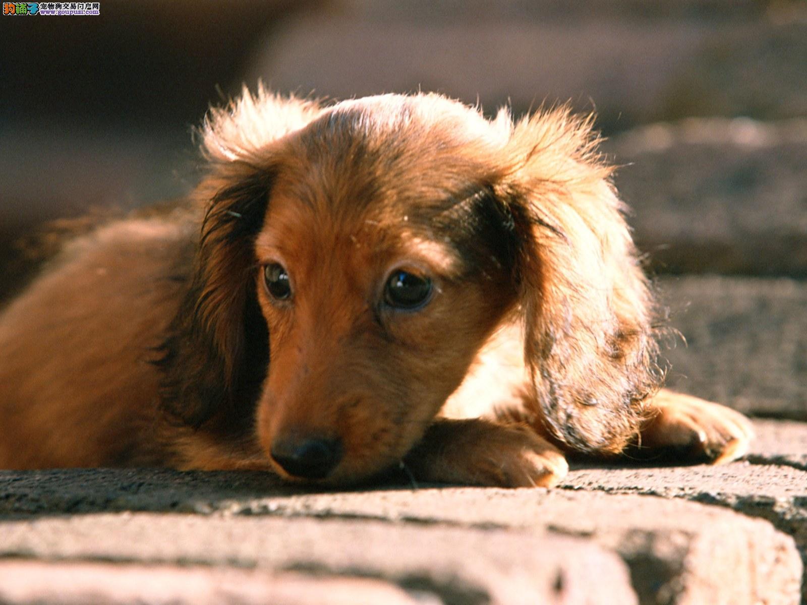 腊肠犬价格那里有纯种腊肠犬卖腊肠犬好养吗