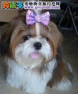 实物拍摄的南京西施犬找新主人微信咨询看狗