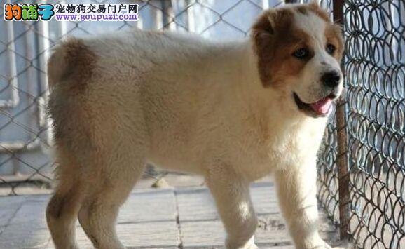 出售高端中亚牧羊犬、真实照片保纯保质、微信咨询看狗