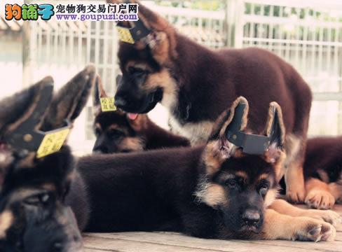 知名犬舍出售多只赛级狼狗可签合同刷卡
