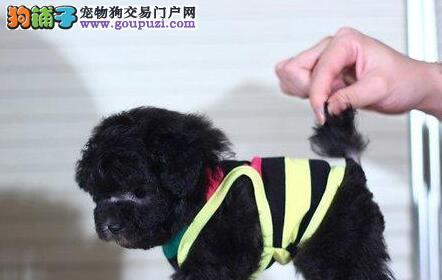 特价优惠出售杭州泰迪犬 狗贩子勿扰 盗图必究