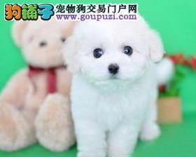 渝中直销家养棉花糖比熊宝宝 大大的眼睛黑黑的鼻子