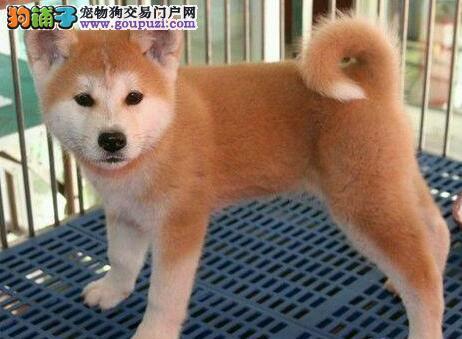 优质日系青岛秋田犬直销 欢迎来电话来犬舍咨询