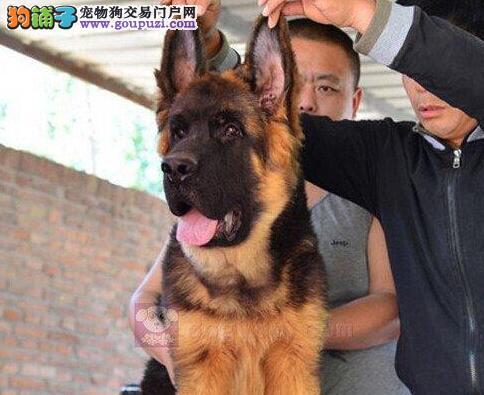 济南基地出售锤系赛系德国牧羊犬 同城可免费送货
