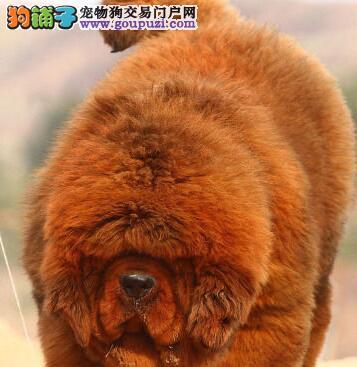 出售大狮头精品藏獒宝宝 精心繁殖 血统纯正双保险