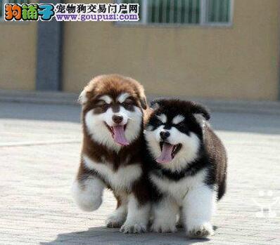 欢迎来福州正规专业犬舍购买阿拉斯加雪橇犬 保证纯种