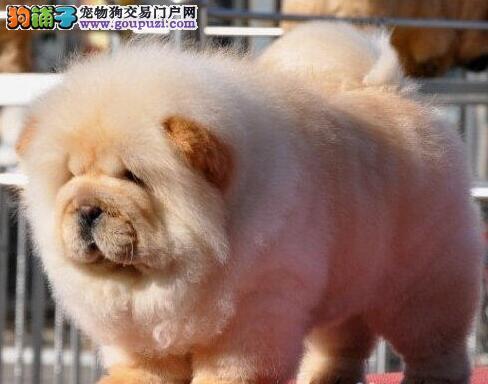 出售纯种健康的松狮犬 品质高欢迎来福州犬舍基地挑选
