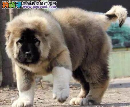 繁殖基地直销出售优质纯种大骨架熊版福州高加索犬
