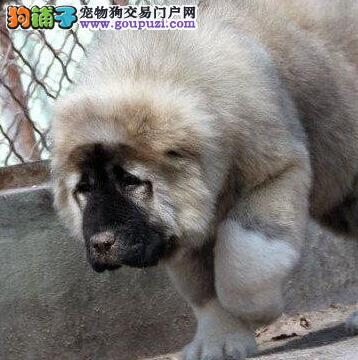 出售巨型俄罗斯海口高加索犬 活泼忠于主人欢迎选购