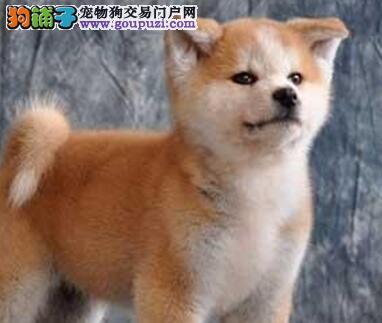 日系兰州秋田犬您值得拥有 喜欢的朋友不要错过