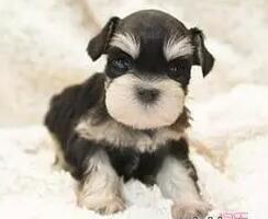 杭州大型狗场特价出售雪纳瑞幼犬 签协议包售后包养活