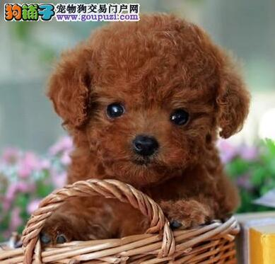茶杯玩具品相的朝阳贵宾犬找新主人 多只幼犬供选择