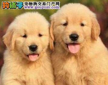 犬舍出售优质精品贵阳金毛犬血统纯正有健康保证价格低