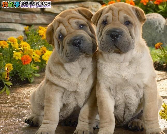 云南最好的萌宠基地购买最好的纯种名犬边牧犬