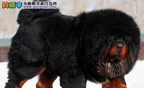 大狮头大骨量大长毛的南京藏獒幼崽低价出售 欲购从速