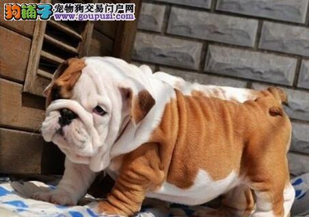 自己繁殖的南京斗牛犬数量有限喜欢的朋友不要错过