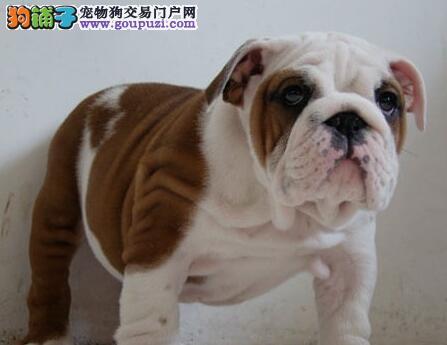 品相极佳帅气的厦门斗牛犬低价出售 请您放心选购爱犬