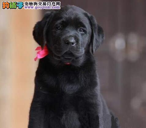 热销邯郸拉布拉多犬欢迎上门挑选价格公道可来犬舍面谈
