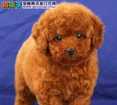 常州知名犬舍售茶杯血系泰迪犬 颜色齐全 质保终身