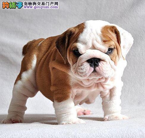 赛级品相石家庄英国斗牛犬幼犬低价出售喜欢它的快来