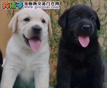 高品质赛级拉布拉多幼犬低价出售 济南市内免费送货