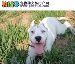 纯种杜高犬宝宝石家庄地区找主人签订协议包细小犬瘟热