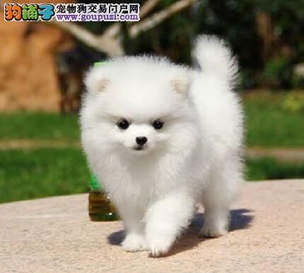 出售活泼可爱的哈多利版博美犬 品质健康