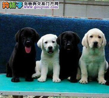 合肥导盲犬繁殖基地热销拉布拉多犬身体健康有血统证明