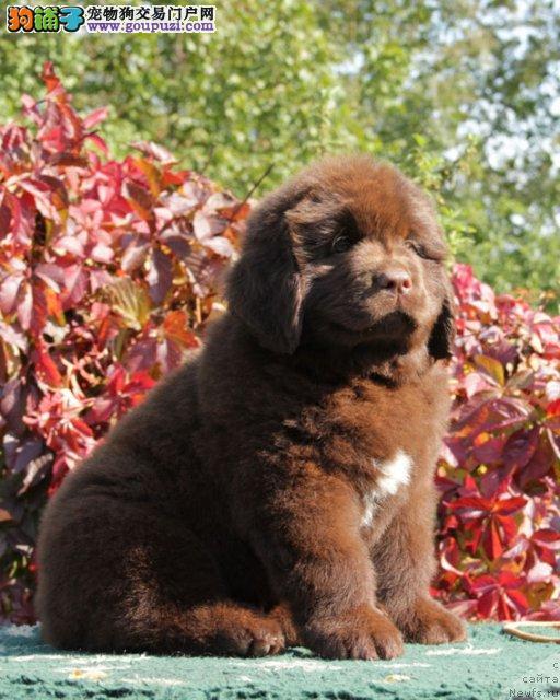 专业正规犬舍热卖优秀西安纽芬兰犬保证品质完美售后