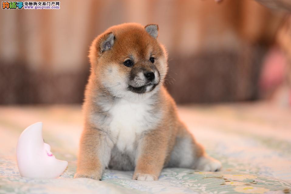 长沙哪里有柴犬卖 长沙柴犬多少钱一只