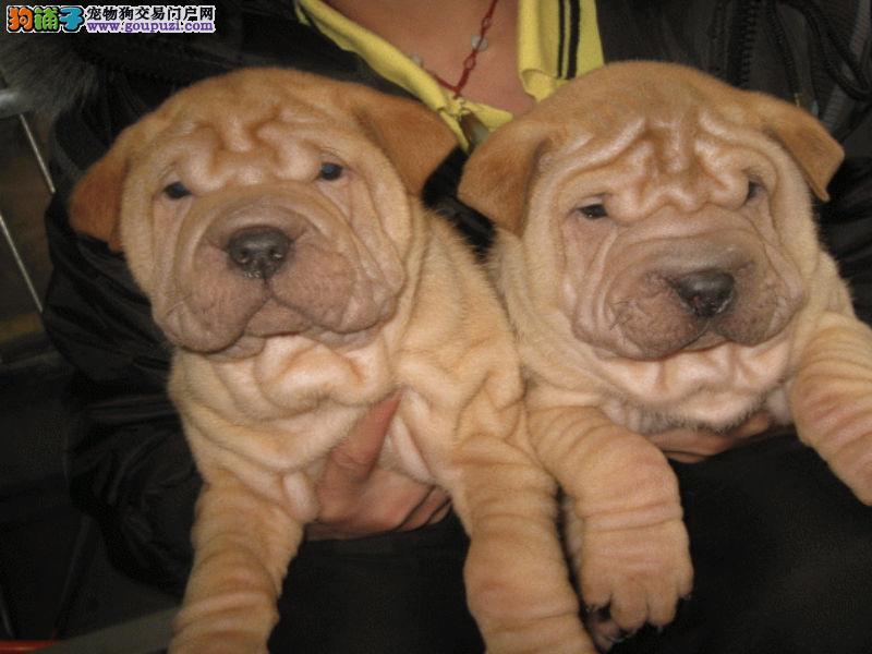 杭州沙皮狗价格多少钱|杭州沙皮狗买卖转让信息