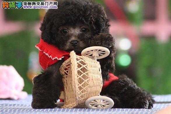邢台热销茶杯犬颜色齐全可见父母可签订活体销售协议