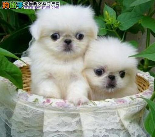 广州京巴犬、京巴实图、广州宠物狗销售点