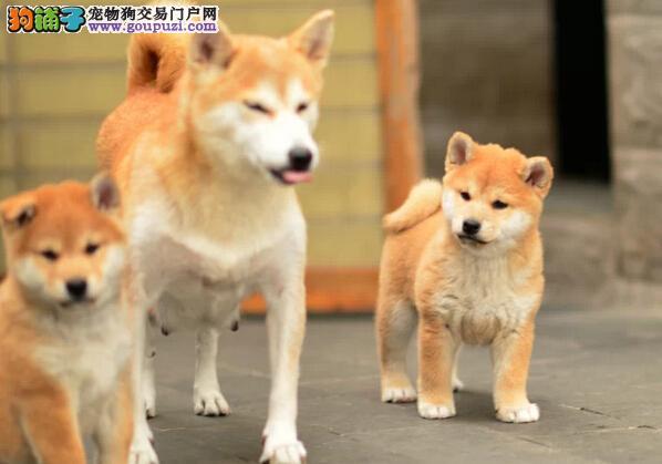 济南哪有卖柴犬 柴犬好养吗 柴犬爱叫吗 柴犬长多大