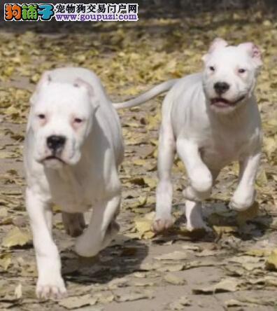 出售纯种健康的合肥杜高犬幼犬送用品送狗粮