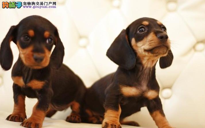 精品纯种郑州腊肠犬出售质量三包喜欢来电咨询
