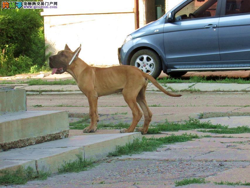 出售大丹犬幼犬品质好有保障微信视频看狗