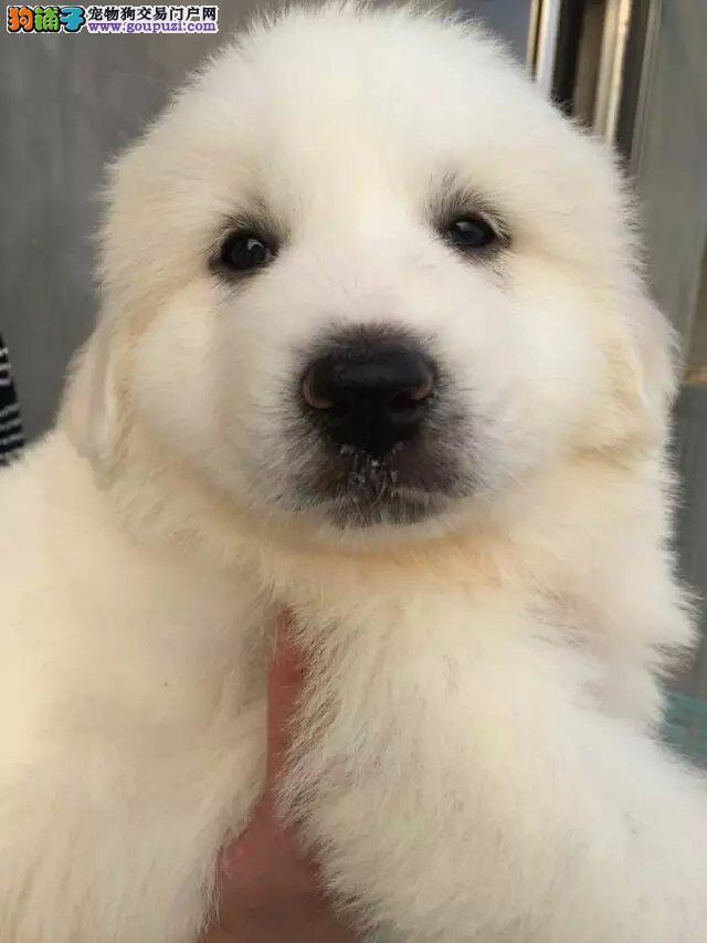 纯种大白熊犬低价出售 签协议 三月包退换 可发货